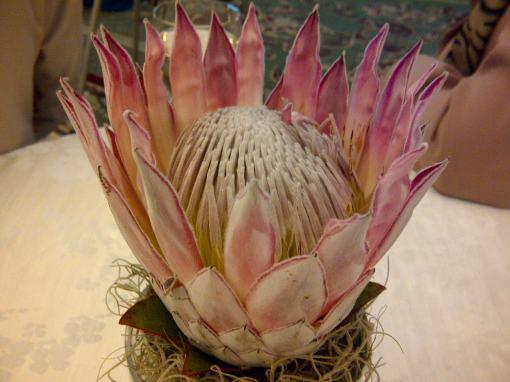 Proteea Regala - Floarea Africii de Sud