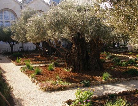 Gradina Ghetsimani - un capat de drum pentru celalata Gradina, a Raiului.